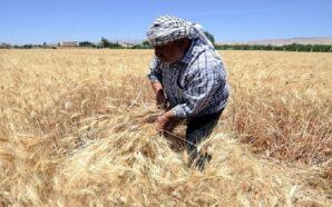 قوات النظام تسرق المحاصيل في ريف حلب الشمالي وعدة جهات…