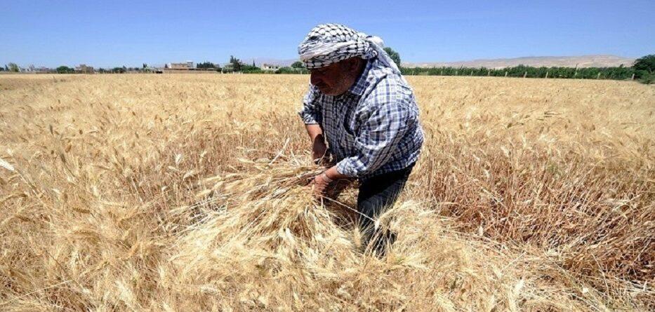 حصاد القمح - حزيران 2020